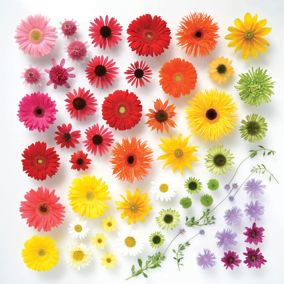 rainbow-colored-daisies