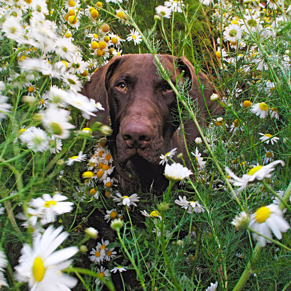 dog sitting in daisies