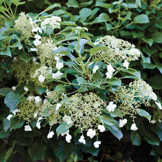 The Secret Behind Martha S Gorgeous Climbing Hydrangeas