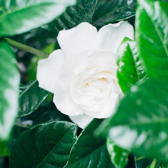gardenia flower white