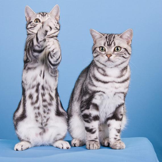 cat-breeds-american-shorthair-ka26-657.jpg