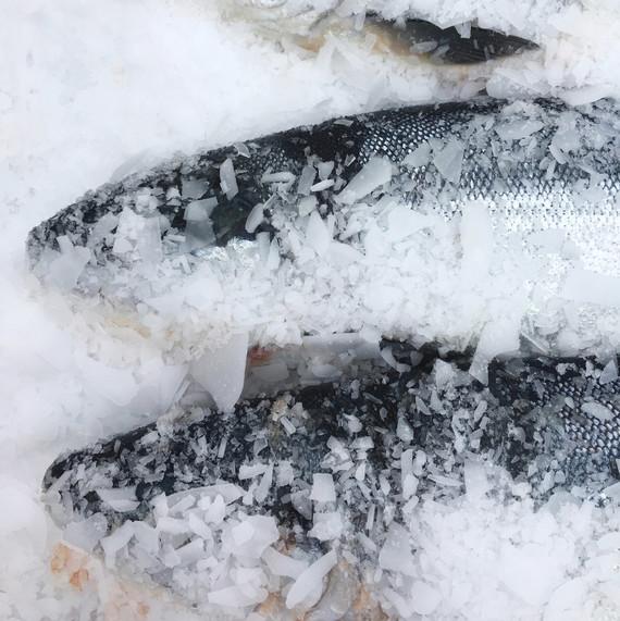 fresh caught salmon