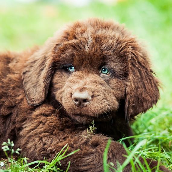 newfoundland puppy with blue eyes