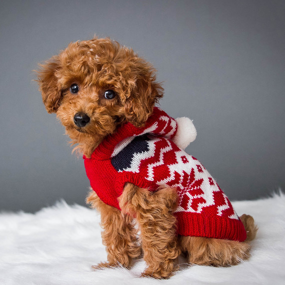 toy poodle in red and white sweater