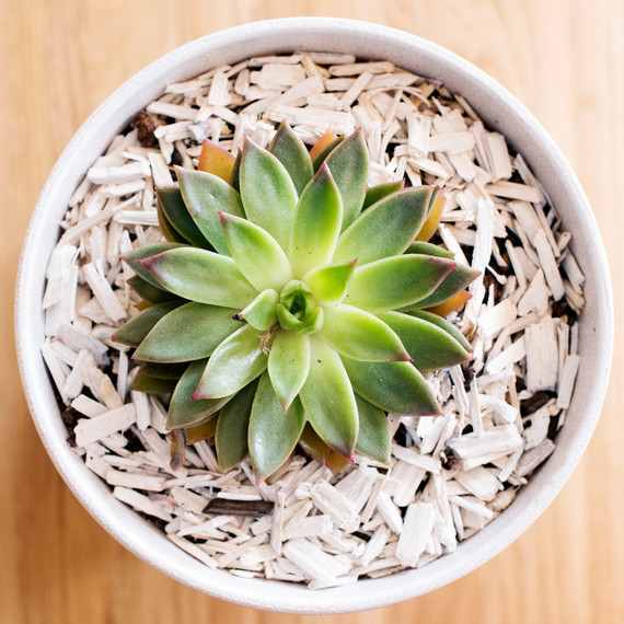 white potted houseleek plant