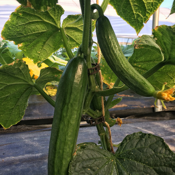 cucumbers on the vine