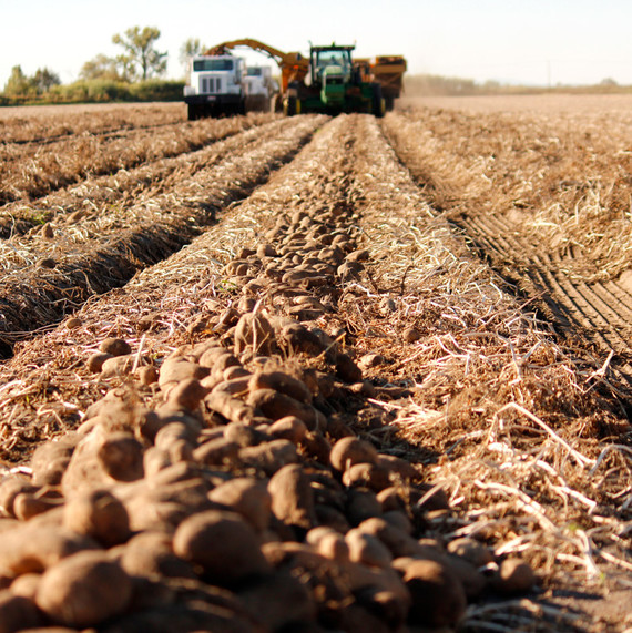 idaho potato harvest field