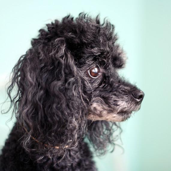 dog-black-toy-poodle