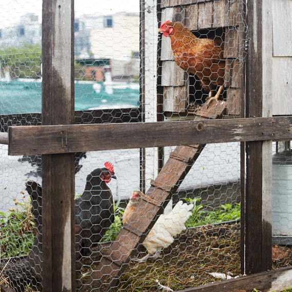 urban chicken coop annie novak