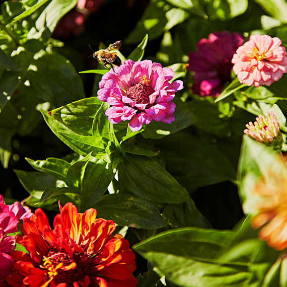 bees zinnias flowers pollination
