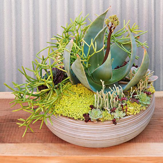 container plant aloe striata