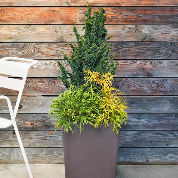 container plant filifera aurea