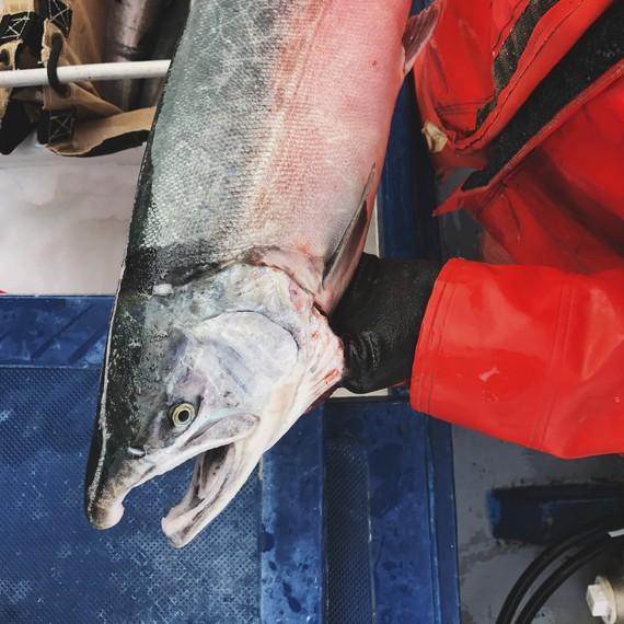 salmon drifters fish