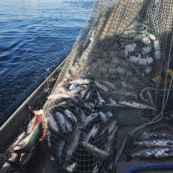 purse seine net pink salmon drifters fish