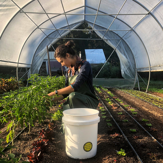 woman harvesting shishito in greenhouse