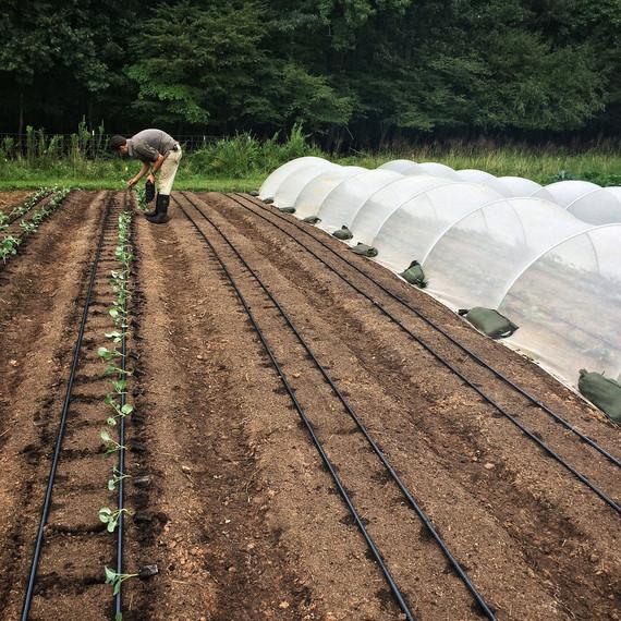 gordon transplant broccoli field ten mothers farm vegetables