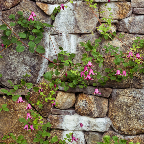 stone wall pink flowers roses