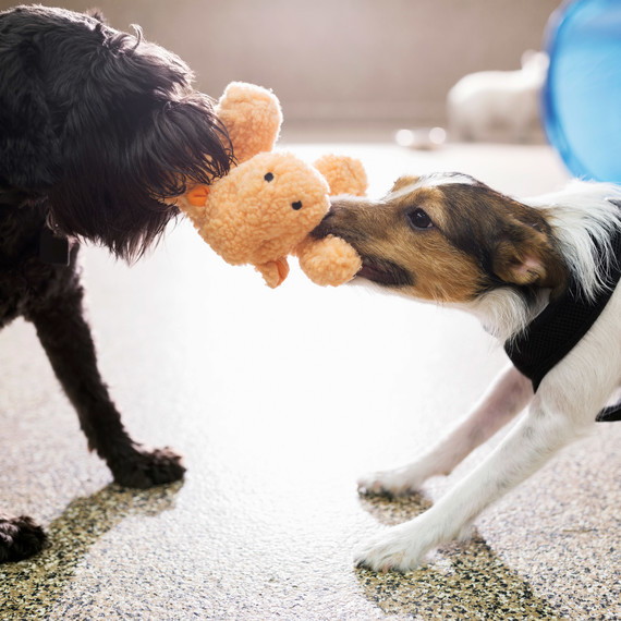 two dogs playing with stuffed animal toy