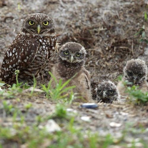 AP-rare-owls-near-lax