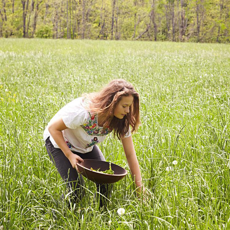 picking dandelion greens