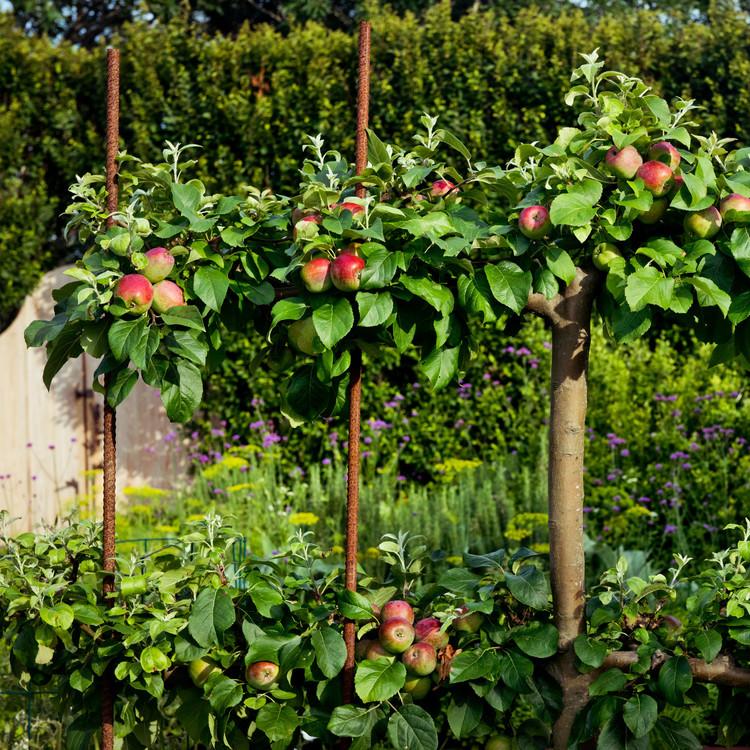 apple trees rebar