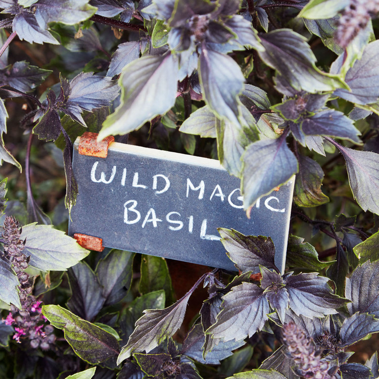 wild magic basil